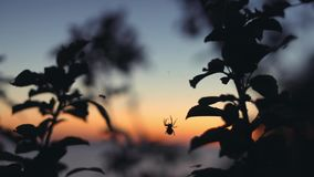 Spider hunting at sunset. Summertime stock footage