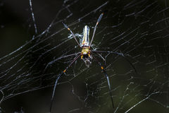 Spider are hunting victims on cobweb Stock Photos