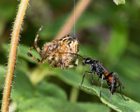 Spider-hunting wasp Priocnemis exaltata with paralysed spider prey hanging on silk thread. Stock Photography