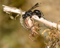Spider-hunting wasp Priocnemis propinqua with paralysed spider prey Royalty Free Stock Images