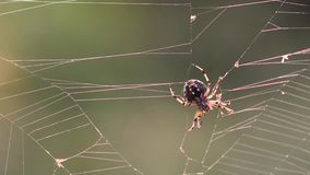 Spider hunting on web in morning stock video