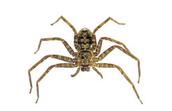 Spider, Huntsman, Holconia immanis Stock Photography