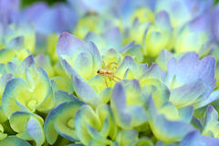 Spider in hydrangea. Tiny spider in blue hydrangea Stock Images