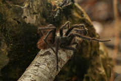 Spider. I found this buddy in the forest in my las camping :D royalty free stock images