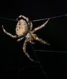Spider. Image of spider on a black background Royalty Free Stock Photos