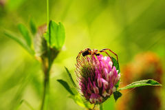 Spider In Clover Stock Photography