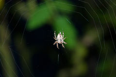 Spider insect bottom view sitting on silk net dark background Stock Photo