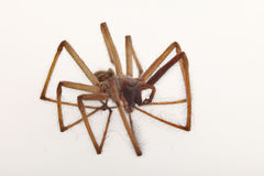 Spider isolated Royalty Free Stock Photo