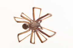 Spider isolated. Arachnid spider isolated on white background macro Stock Photography