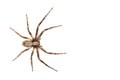 Spider isolated Royalty Free Stock Images