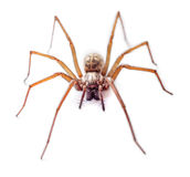 Spider isolated. House spider isolated on white background Royalty Free Stock Image