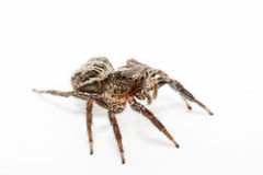 Spider isolated over white Royalty Free Stock Image
