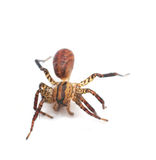 Spider isolated on white royalty free stock photos