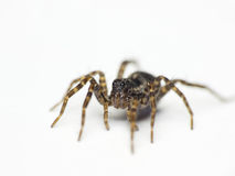 Spider. Isolated on white background Royalty Free Stock Photos