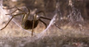 A Spider in its Den. A spider, sitting in its cobwebbed den Royalty Free Stock Photos