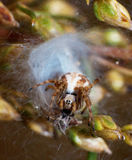 Spider and its nest Stock Image