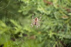 Spider in its net Stock Photo