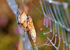 Spider and its prey Royalty Free Stock Image