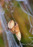Spider and its prey Royalty Free Stock Photos