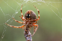 A Spider With Its Prey. A spider spins a web around an insect it has captured Stock Photography