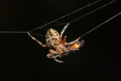 Spider and its prey. Big cross spider Araneus diadematus hanging in web with its prey Royalty Free Stock Image