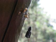 Spider with its prey enlarged Royalty Free Stock Image