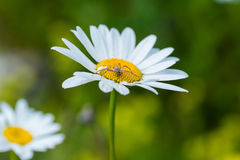 Spider and its prey on flower Royalty Free Stock Image