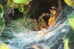 Spider and its prey Royalty Free Stock Images