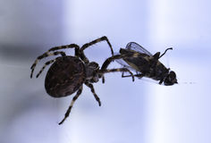 Spider with its prey Stock Image
