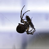 Spider with its prey Royalty Free Stock Image