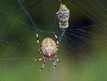 Spider and its victim. Spiders of family Argiopidae can be met on a meadow or a glade. The spider (it is possible Araneus marmoreus) has caught the fly ( Stock Photo