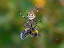Spider and its victim. Spiders of family Argiopidae can be met on a meadow or a glade. The spider has caught a bumblebee. The photo is made in Moscow areas ( Stock Image