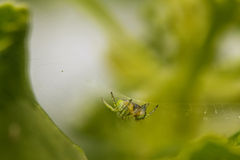 Spider in its web. Cucumber green spider lurking for prey stock images