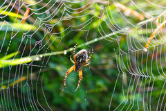 Spider in its web. Waiting for the prey Royalty Free Stock Image