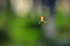 Spider on its web Royalty Free Stock Photo