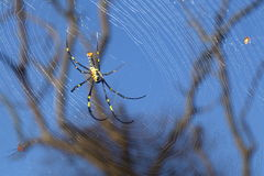 Spider in its web. In blue sky as background Stock Images