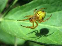 Spider on its web. Macro of a spider on its web with its shade on a green leaf Stock Photography