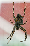 Spider on its web. Hunting spider in the center of its web Stock Photos