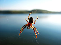 Spider on its web. Spider on a web close against the river royalty free stock image