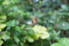 Spider in its Web. Close up of a spider in its web Royalty Free Stock Images