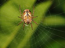 Spider on its web. A closeup of a spider resting on its web Royalty Free Stock Photo