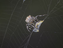 Spider in its web Royalty Free Stock Photo