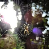 Spider in its web Royalty Free Stock Photos
