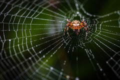 Spider on its web. Little spider on its web with a little insect as prey Stock Photography