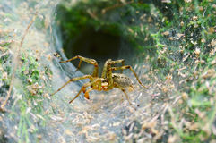 Spider in its web nest. Spider stay in its web nest waiting for the prey Stock Photos
