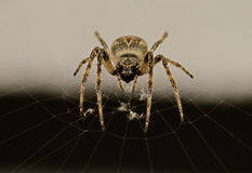 Spider on its web. Orb Weaver Female, in the center of her web. Facing camera Stock Images