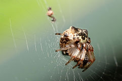 Spider on its web. Picture of a Spider on its web after eating its prey Stock Image