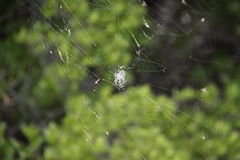 Spider in its web. Small spider in the centre of the wide web with green background Stock Images