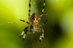 Spider on its web. The underside of a spider on its web Stock Photo