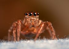 Spider jeans. Jumping spider, looking at the camera,  on material Stock Image